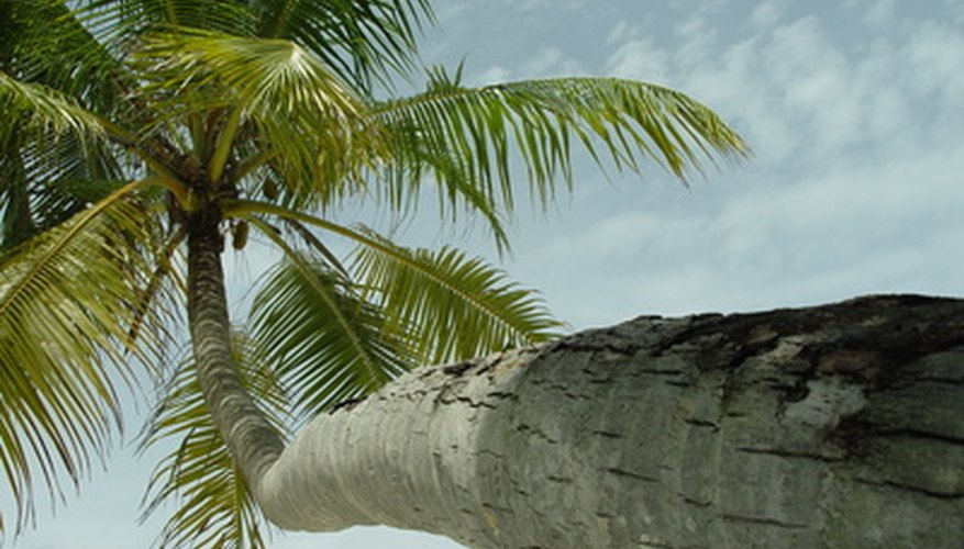 Coconut palm trunks sometimes are bent or curved.