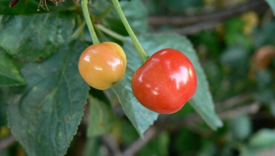 Cherries are most susceptible to brown rot when they start to color.