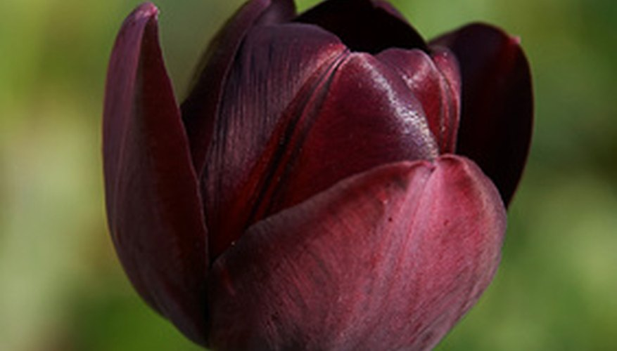 Black tulips are actually deep purple.