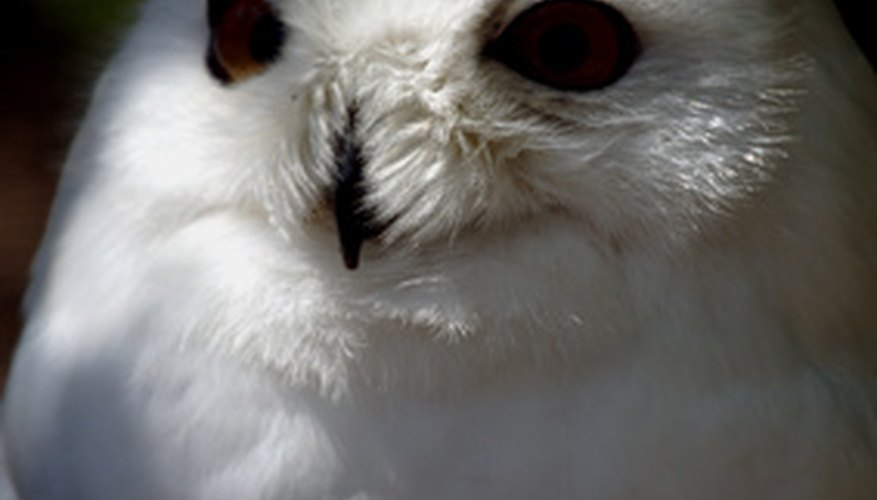 Snowy owls are easy to identify.