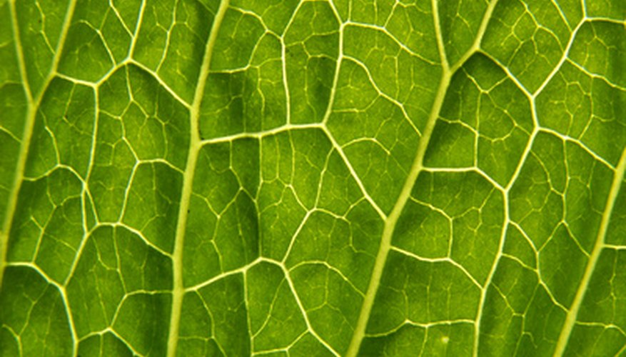 Leaf veins carry food and water throughout the plant.