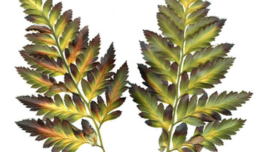 Fronds contain the stipe and the blade.