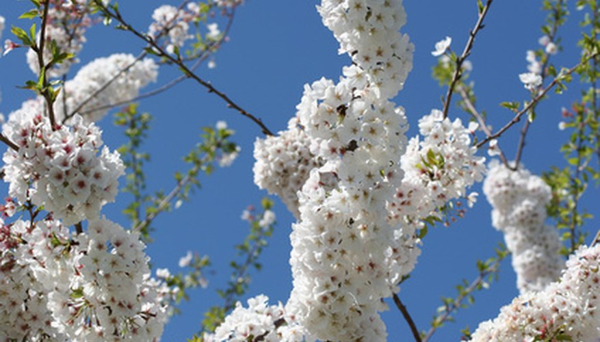 Weeping cherries can have graceful branches filled with white or red flowers.