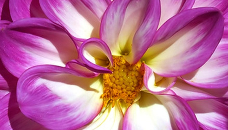 Dahlias are appreciated for their extravagant blooms.