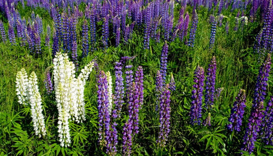 Lupines prefer a slightly acidic sandy soil.
