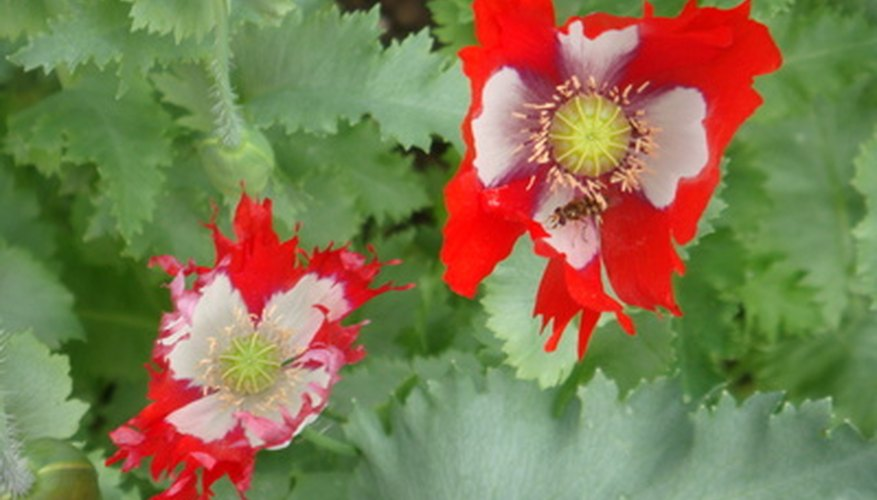 An oriental poppy in bloom