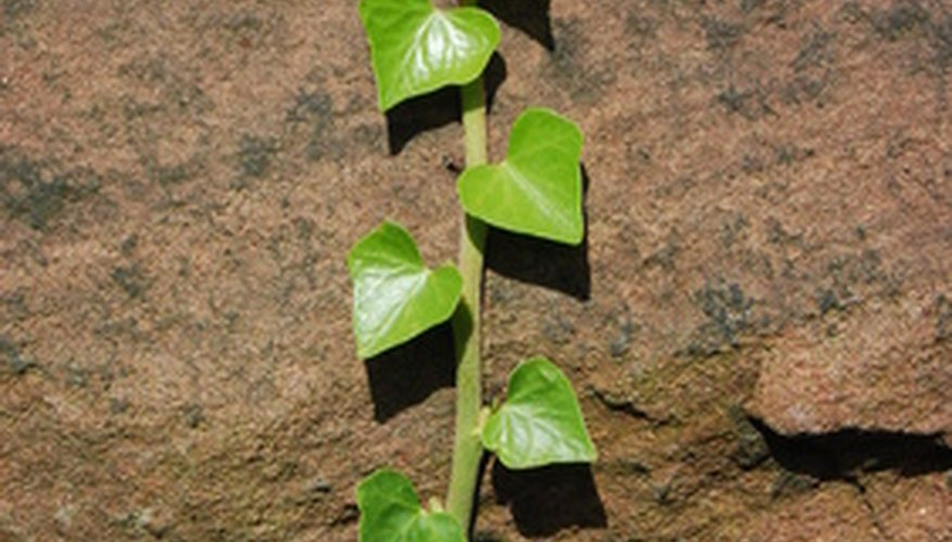 Ivy rootlets anchor the plant to allow it to climb vertically.