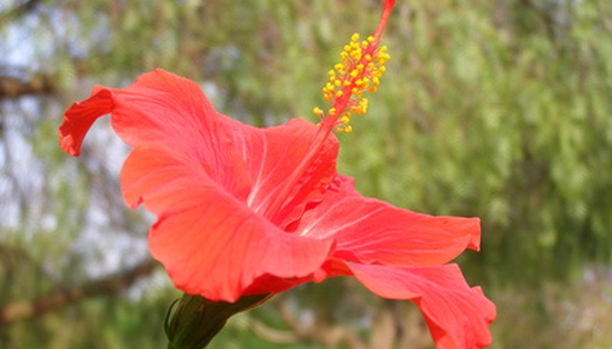 Tropical hibiscus has spectacular one-day flowers.