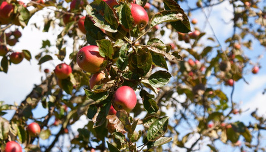Many fruit tree diseases and insects can be controlled with different types of dormant sprays.