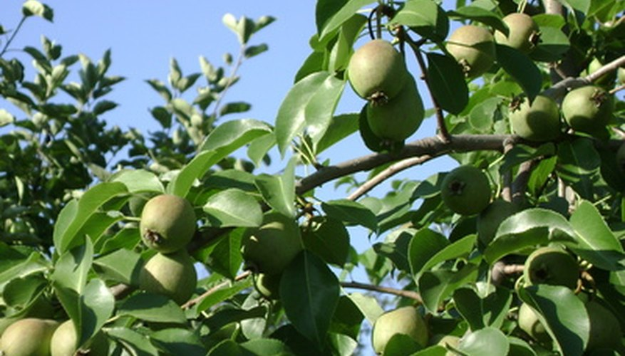 Tennessee fruit trees need proper care to produce quality fruit.