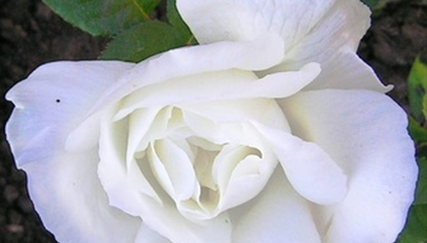 White roses add color contrast to a garden.