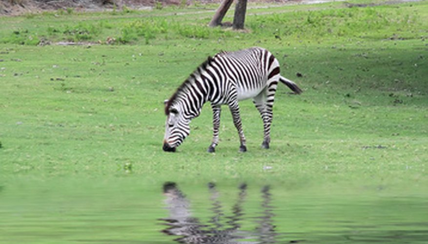 A zebra grazing on plant life, an example of a central aspect of ecosystem makeup