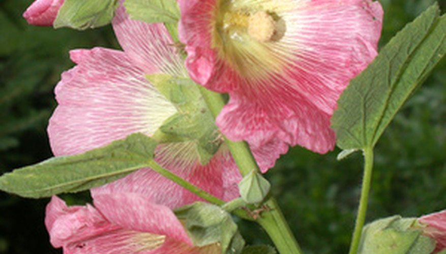 Hollyhocks are tall, stalk-like plants that can grow in many climates and soil.