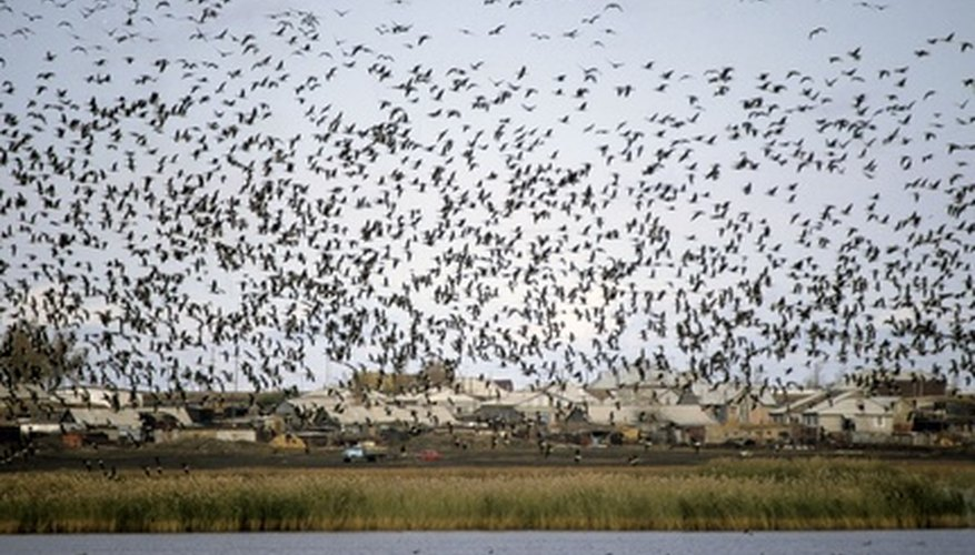 Un grupo de gansos de frente blanca durante una migración