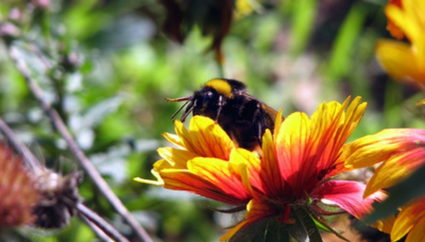 The bright colors and sweet smell of flowers attract pollinators, such as this bumblebee.