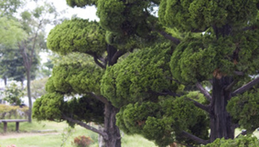 Judiciously pruned Japanese cedars grace Asian gardens.
