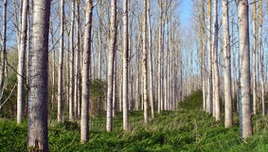 A stand of poplar trees.
