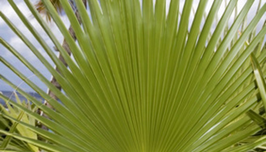 Palms and Cactus are easily grown plants native to the Rio Grande Valley.