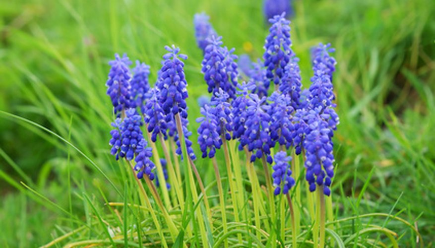 English lavender provides bright color to any garden.