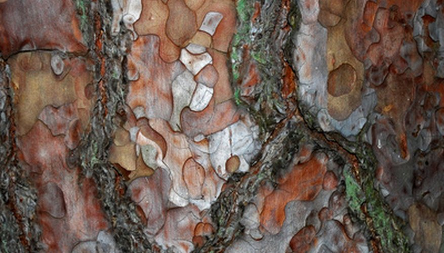 The bark of the pine tree is fissured to create unusual patterns.