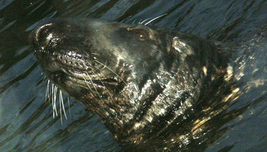 Las focas viven tanto en los mares polares como en los tropicales.