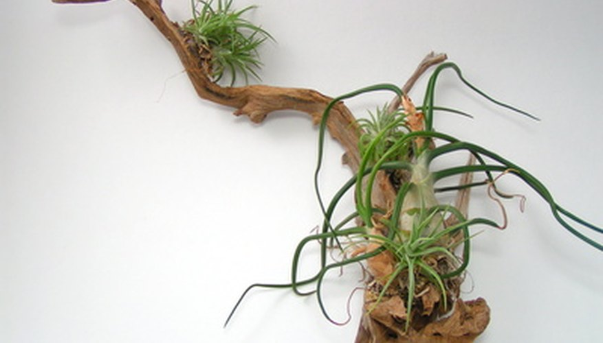 Epiphytes are commonly grown on logs or rocks for ornamental purposes.