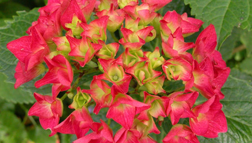 The climbing hydrangea produces large clusters of brightly colored blooms all season long.