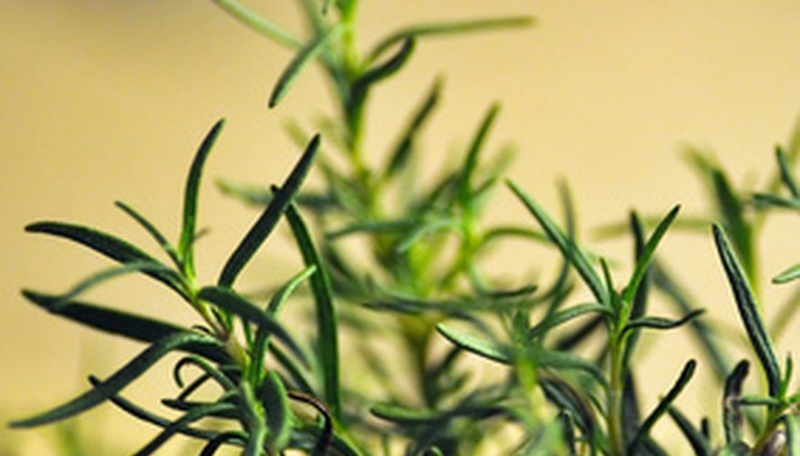 Rosemary looks great in the garden and it has a delightful fragrance.