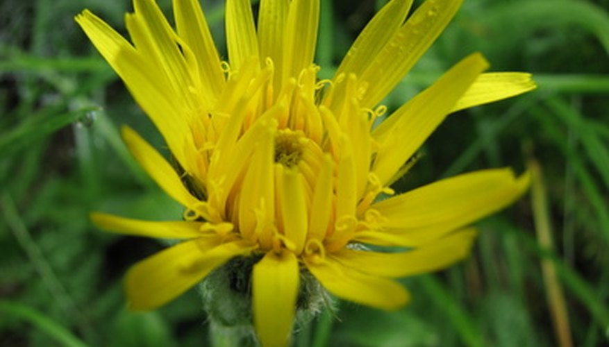Dandelion is a common edible weed.