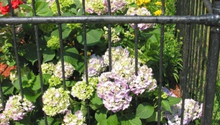 Hydrangeas in full bloom add wonderful color to the garden.