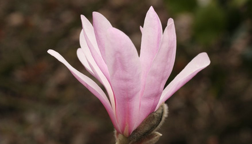Star magnolia flower petals are pink.