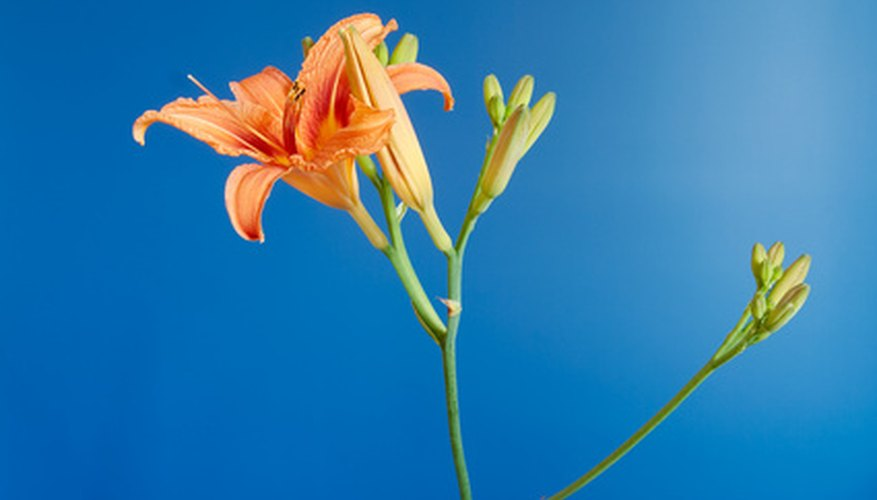 Day lilies produce multiple buds for continual flowering.