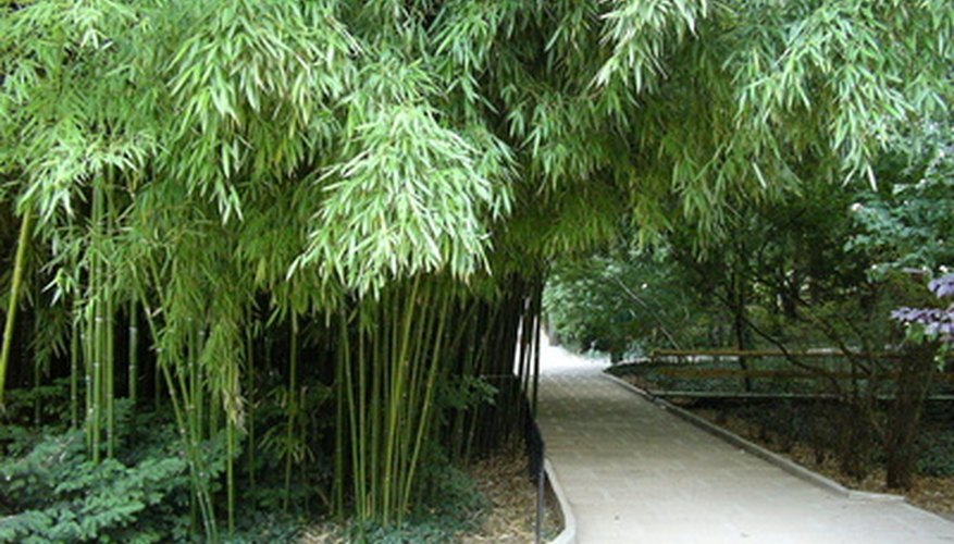 A shady pathway surrounded by bamboo.
