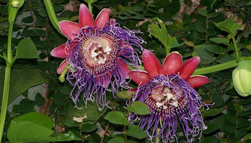 A species of passiflora.