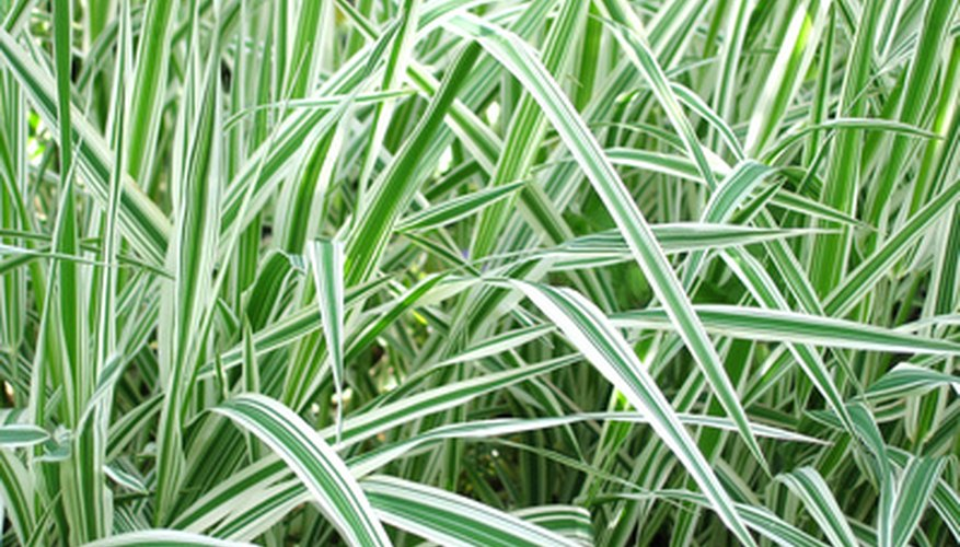 Some ornamental grasses feature varigated leaves.