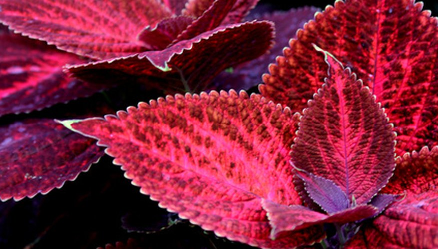 Coleus dresses up any window box.