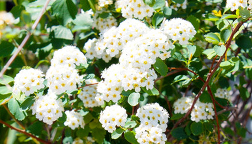 Trim a snowball bush immediately after it finishes blooming.