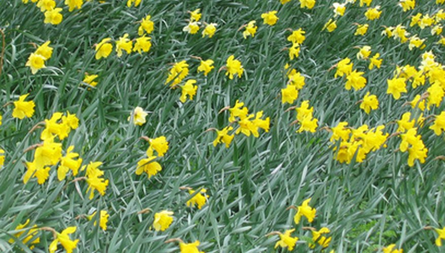Daffodils multiply every year for brilliant, early spring displays.