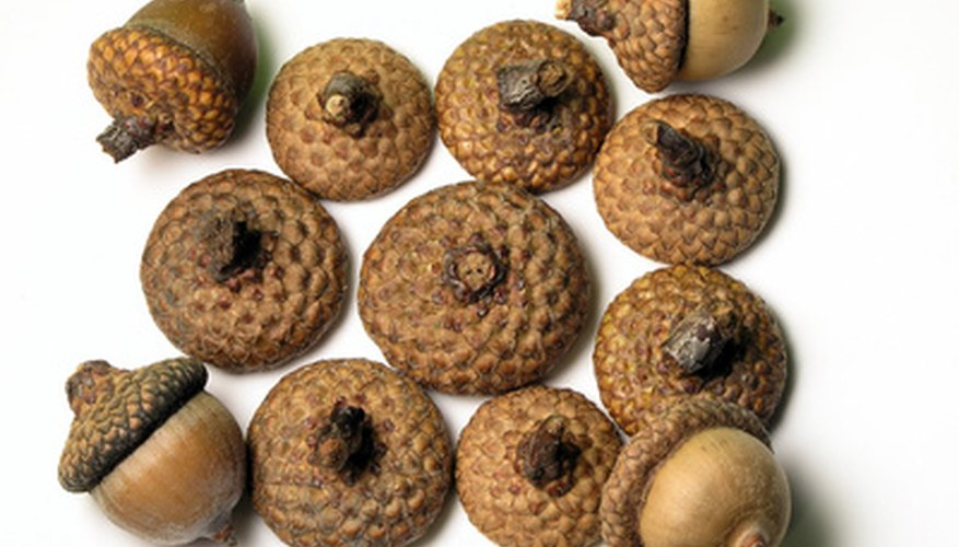 North American native oaks' seed caps have scales.