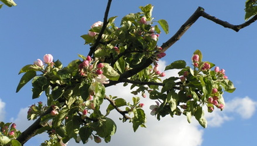 Spur-bearing apples bear more flower buds on smaller trees.