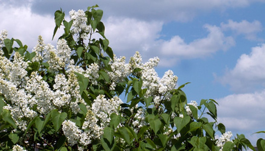 Lilacs blooms provide seasonal interest and are a tall, informal hedge.