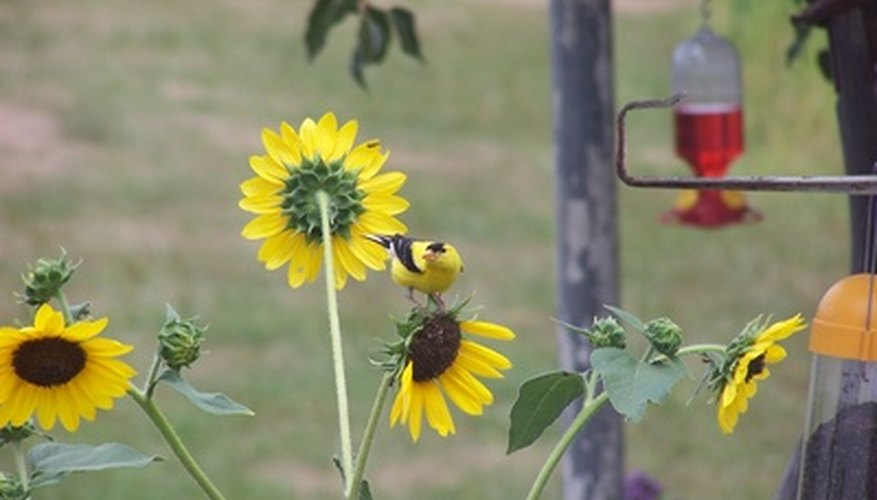 Gold finch at a sunflower