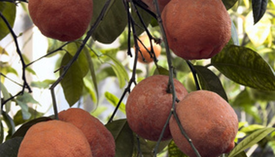 Some orange tree diseases can affect the fruit.