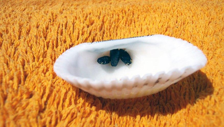 Concha marina.