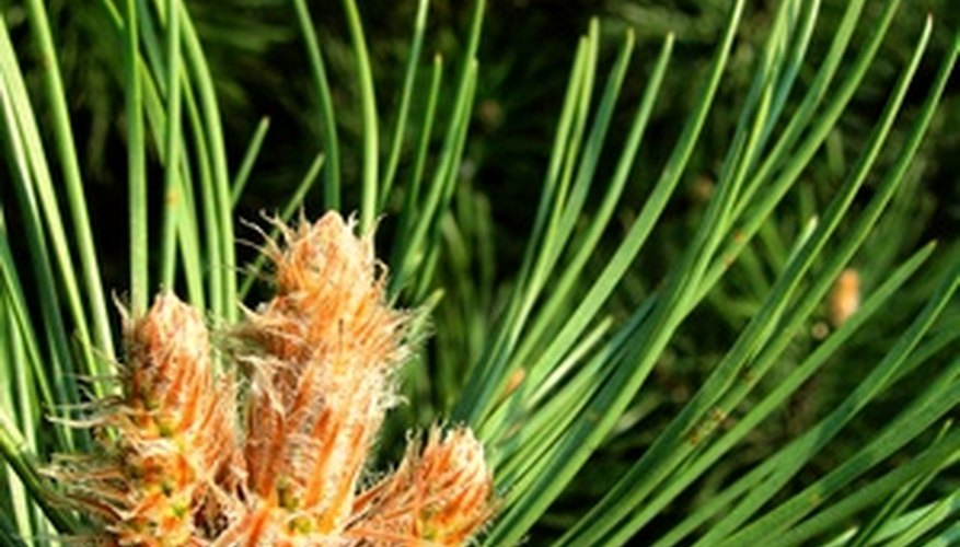 Test the health of a pine by bending a needle.