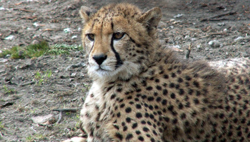 The cheetah is just one species threatened by habitat loss in the savanna.