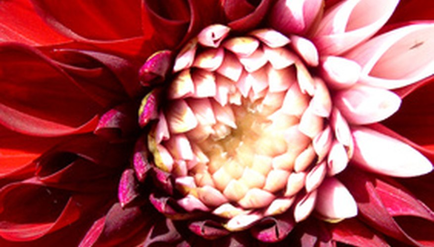 Closeup of a dahlia