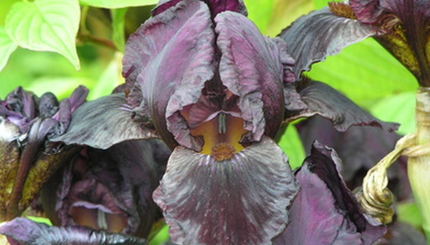 A black-flowering bearded iris variety.