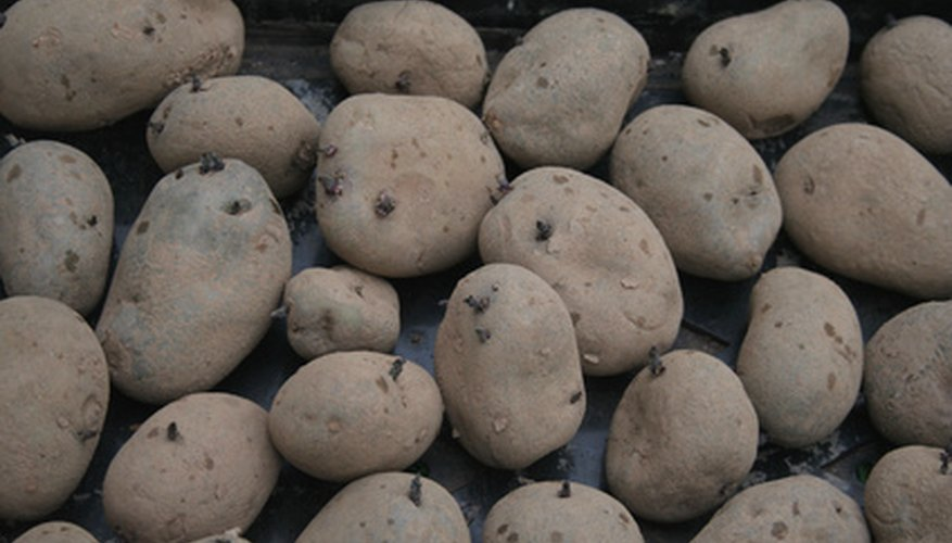 Seed potatoes sprouting after being stored.