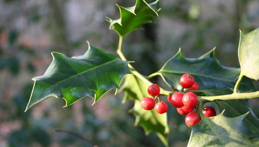 Even a tough plant like holly can suffer from disease.